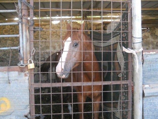 פינוי הסוסים בעכו
