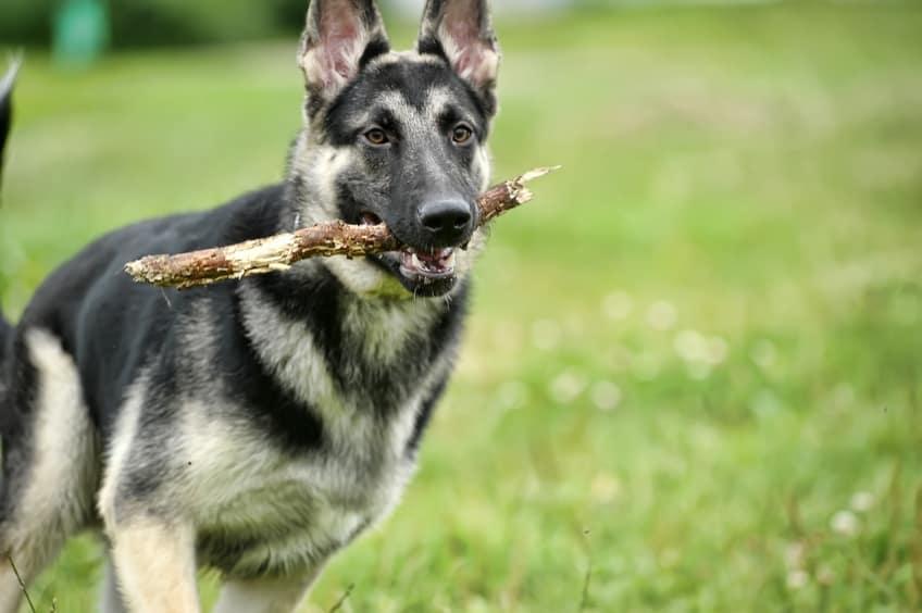 כלב אילוסטרציה