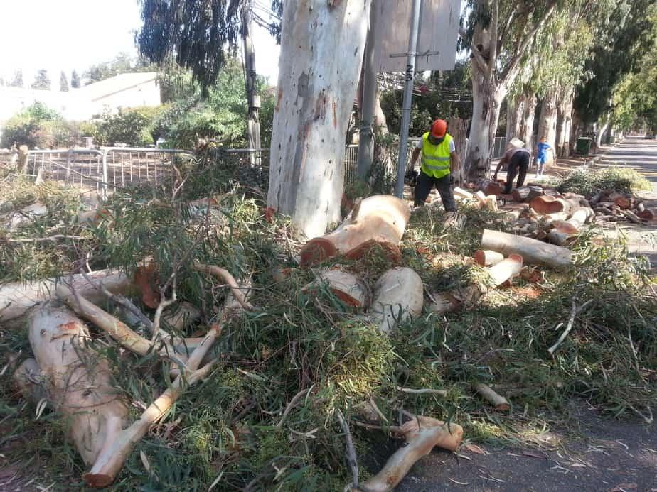 העצים הכרותים בבוסתן הגליל