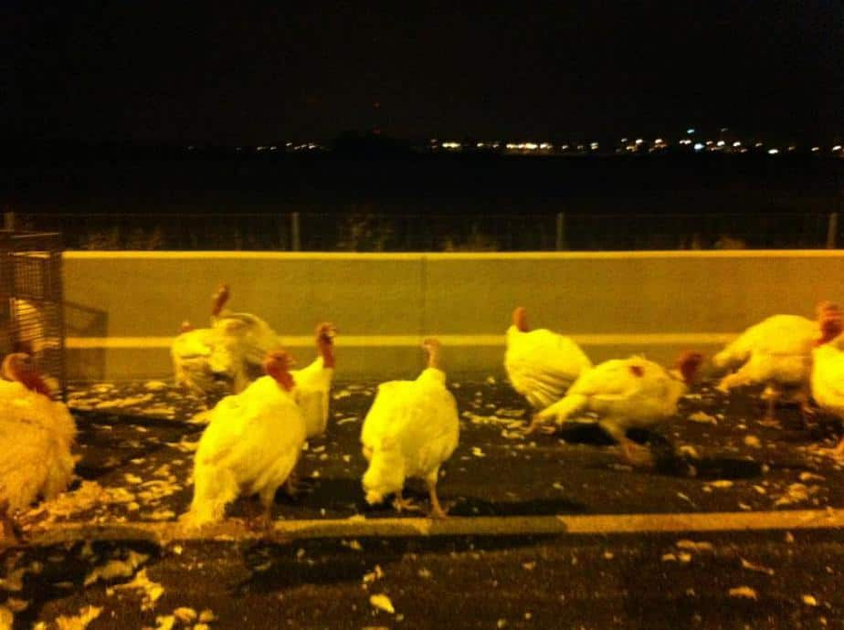תרנגולים (צילומים: באדיבות סיגלית נבו)
