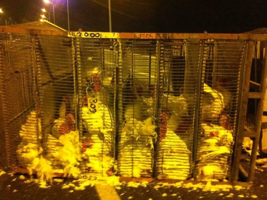 כלובים הפוכים עם תרנגולי הודו