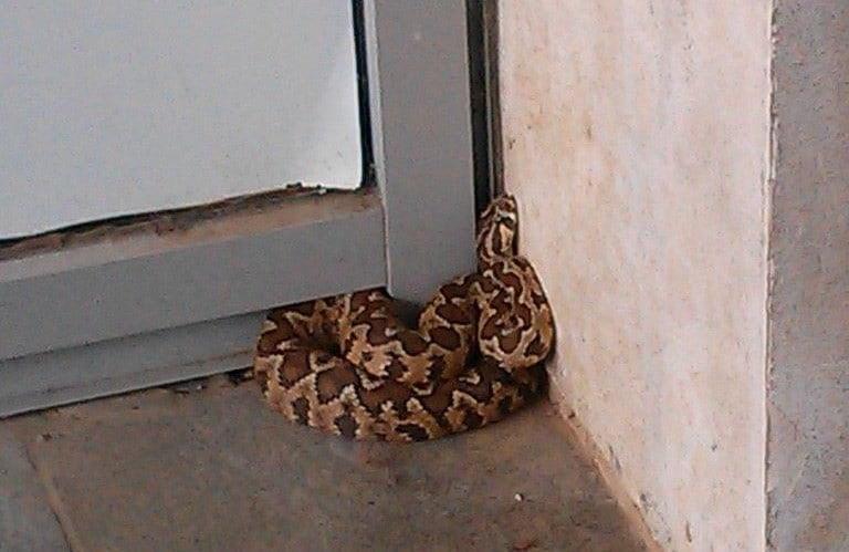 הנחש שנלכד בקרית השרון (צילום נתנאל שטרייזר)