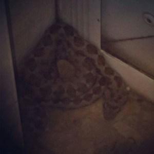 הנחש שנלכד על ידי סיירת הבטחון בעכו
