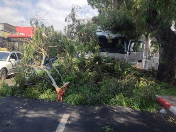 עץ קרס בשדרות הגעתון