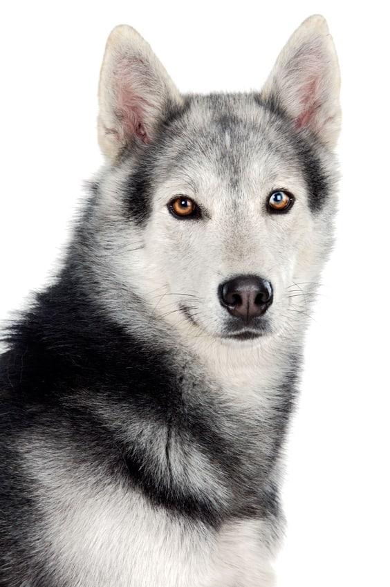 כלב זאב