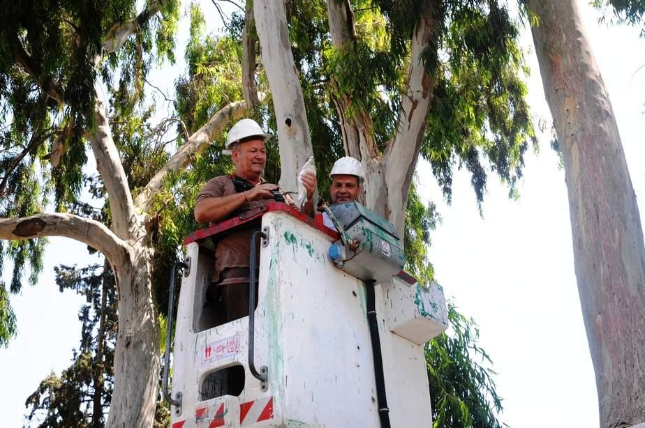מבצע הורדת הגוזלים מהעצים בחדרה