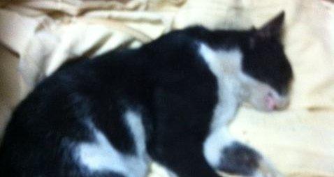 """החתול שהובא ביום שלישי למרפאה (צילום: ד""""ר גל לויטה)"""