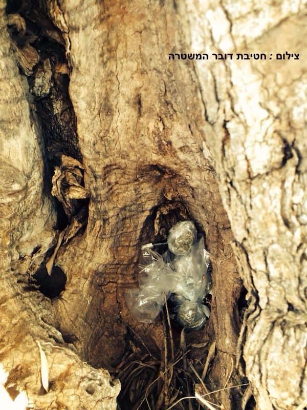 מריחואנה מוסתרת בעץ