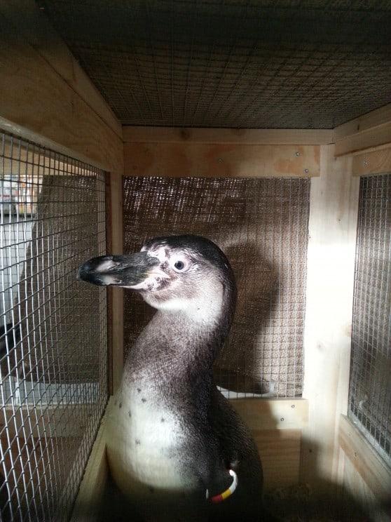 ייבוא פינגווינים (צילום: צביקה אבני)