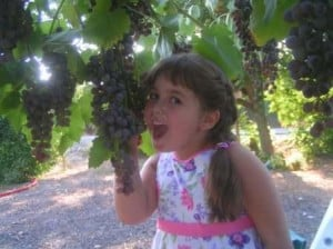 בציר ענבים צילום: אלון תלמי