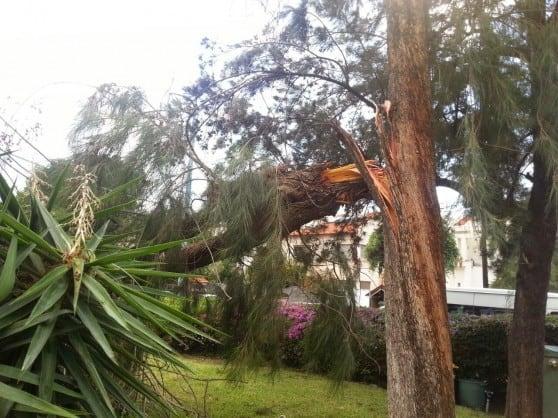 עץ קרס בקרית חיים  (צילום כיבוי אש מחוז חוף)
