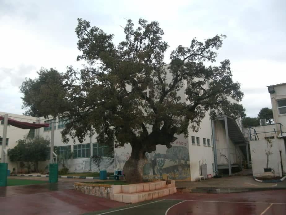 הוא יכול ללמד אתכם שיעור בהסטוריה. עץ האלון לשימור בבית הספר אלונים. צילום :נירית שפאץ