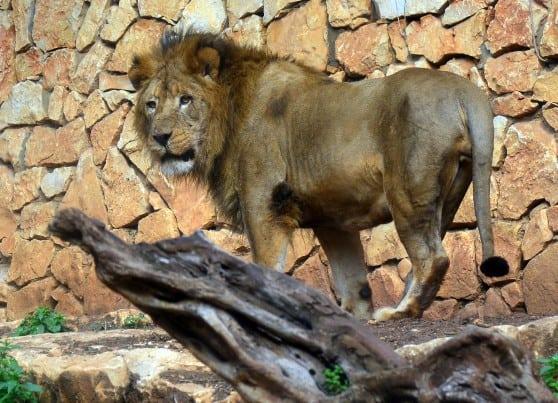 המלך החדש. יאגו האריה (צילום: עיריית חיפה)