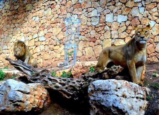 חברים? האריות בגן החיות של חיפה (צילום: עיריית חיפה)