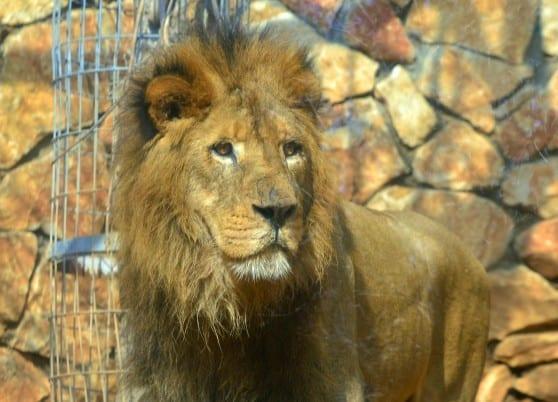 אני המלך. יאגו האריה (צילום: עיריית חיפה)
