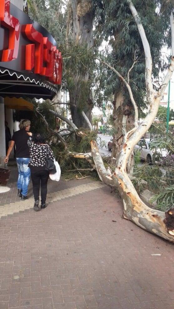 העץ שקרס ברחוב הרברט סמואל (צילום: בועז לוי)