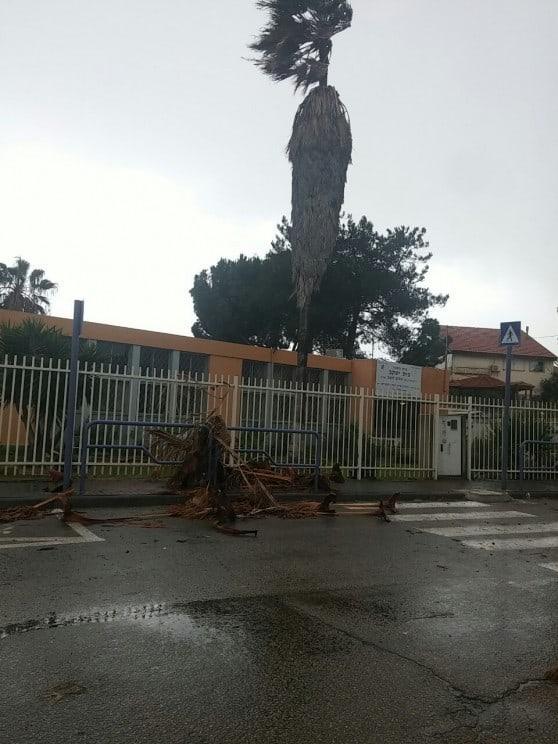 עץ קרס ברחוב העלייה בעכו