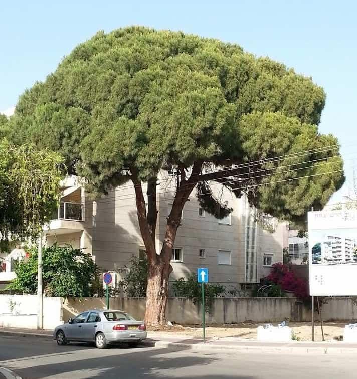 מתנגדים לכרות אותו. העץ העתיק בקרית ביאליק (צילום: נורית אפרים)