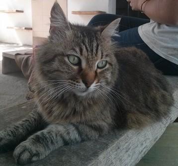 החתול ג'יפסי (צילום: צער בעלי חיים)
