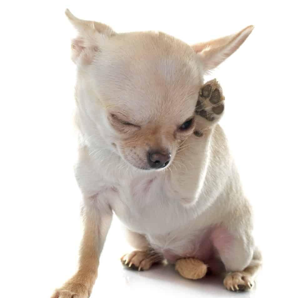 אלרגיה אצל כלבים (צילום אילוסטרציה: פנתרמדיה)