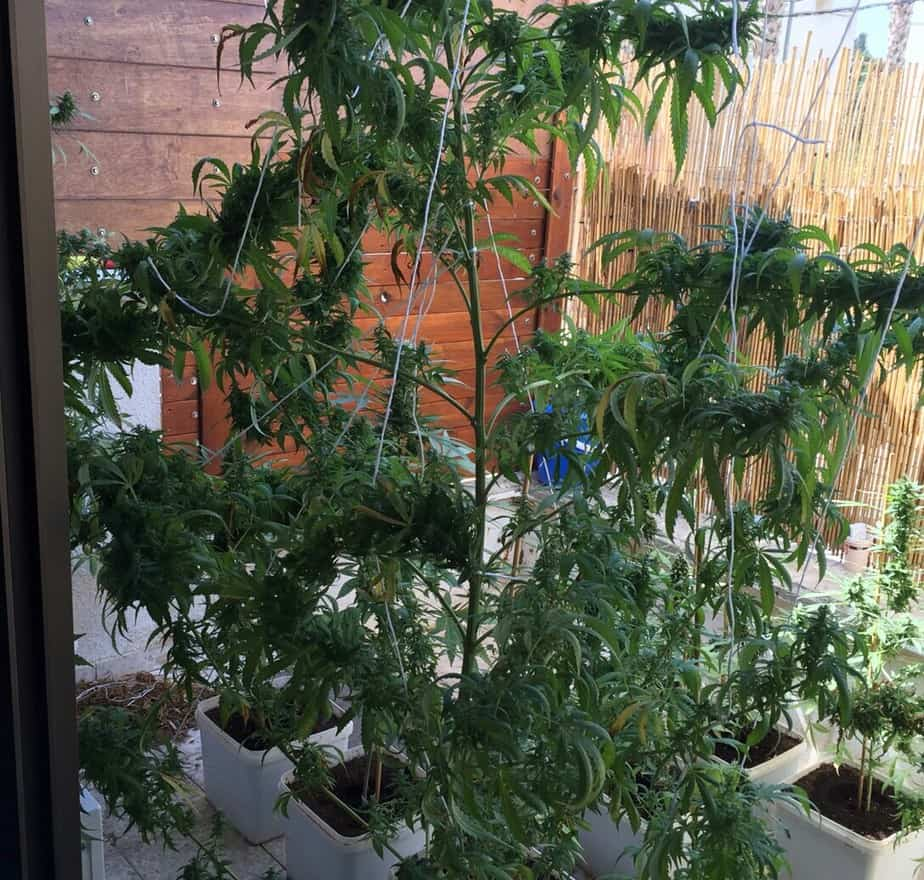 גידול מריחואנה בבית (צילום: דוברות המשטרה)