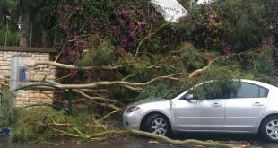 עץ קרס על אוטובוס בחדרה (צילום: אורטל מכלוף)