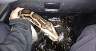 הנחש שנלכד. (צילום: חטיבת דוברות המשטרה)