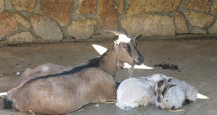גדיות תאומות שנולדו בחי-פארק בקרית מוצקין (צילום: אסנת מעוז ינקו)