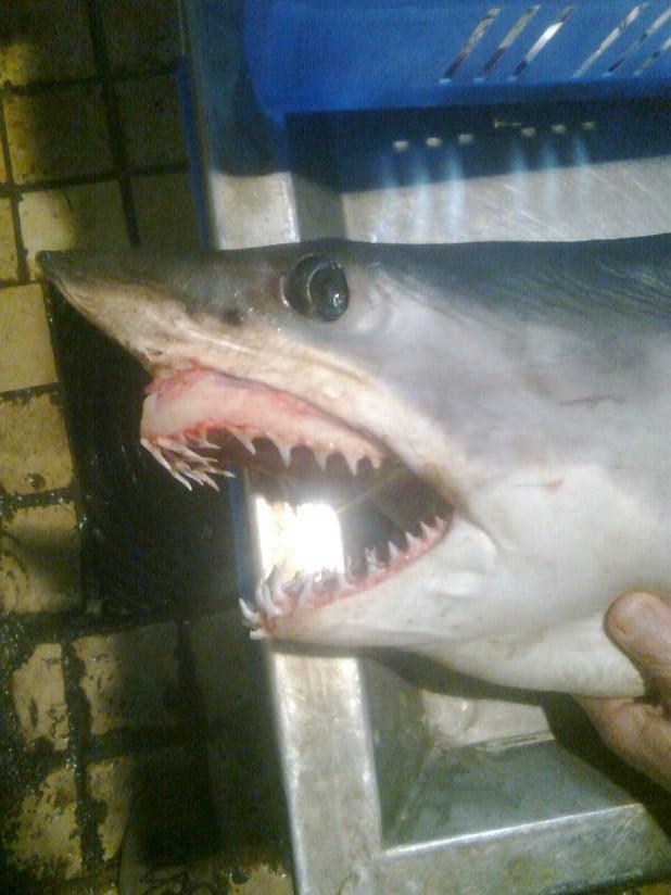 כריש. (צילום ארכיון)