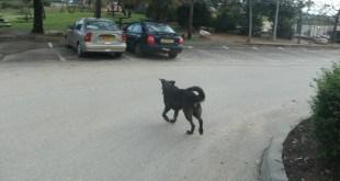 בעיה ציבורית. כלב משוטט ללא השגחה. צילום: נירית שפאץ