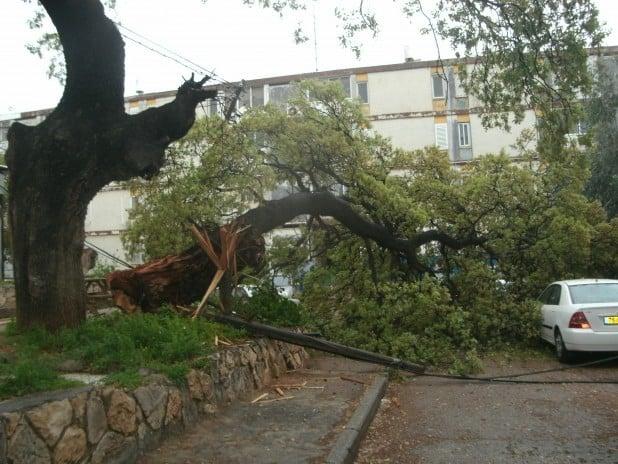 קרס ושיתק את החשמל. העץ שקרס במתחם בתי אגד. צילום: נירית שפאץ