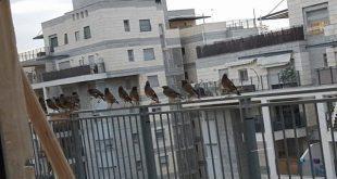 מיינות על המרפסת (צילום: עצמי)
