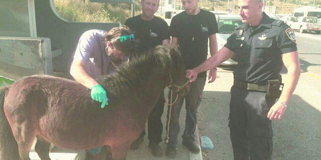 מטפלים בסוס תשוש