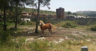סוסה שנגנבה ונמצאה (צילום עצמי)