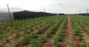 סמים בשדות העמק (צילום דוברות המשטרה)