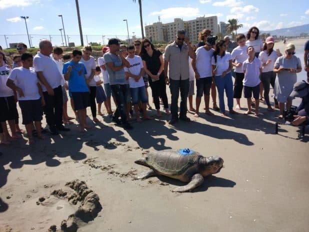 """מסוגל שוב לצלול לקרקעית ולאכול יותר מק""""ג דגים בכל יום. פינטו צילום: באדיבות המרכז להצלת צבי ים"""
