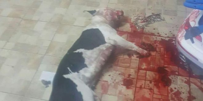 """כלבת הפיטבול """"קאיה"""" לאחר שנרצחה. צילום: פרטי"""