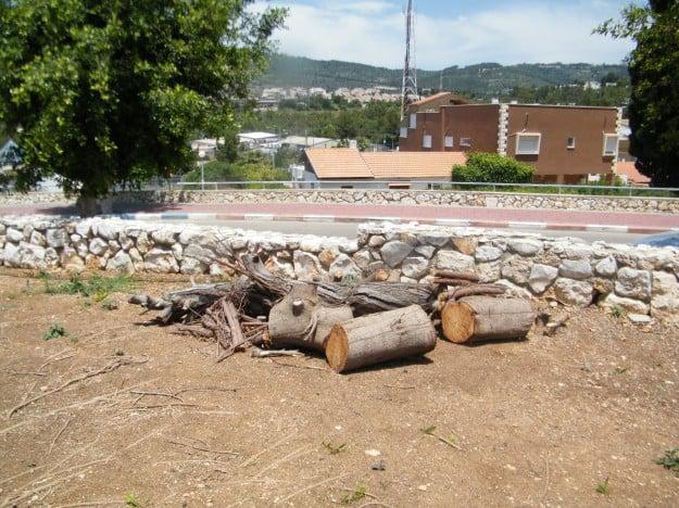 עצי פיקוס נכרתו בשלומי