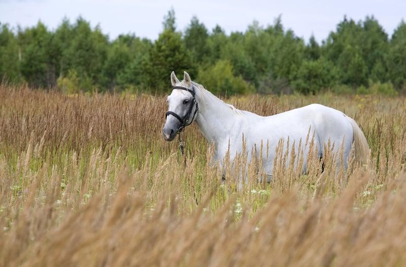 סוס אילוסטרציה