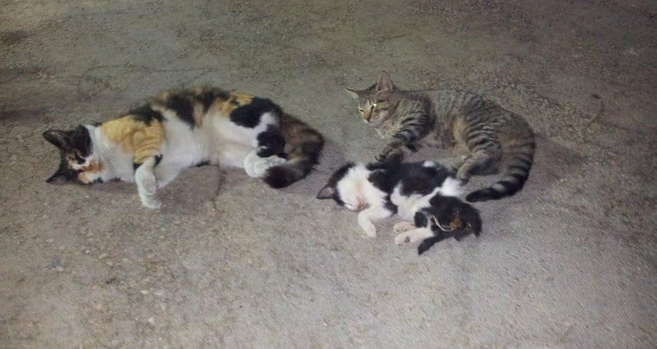 """חתולים שהורעלו ברחבת המועצה (צילום: ד""""ר ריאד בדראן)"""