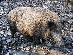 מסוכן. חזיר בר (צילום: User:GerardM (Image:WildZwijn.jpg), via Wikimedia Commons)