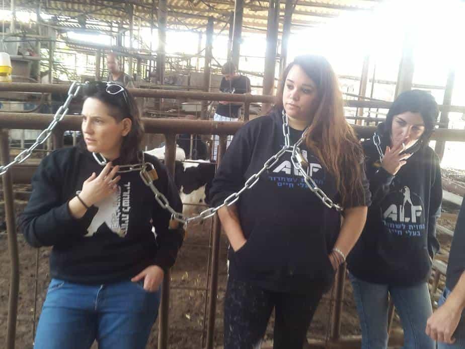 קשרו את עצמם לרפת. חברי החזית לשחרור בעלי חיים (צילום: פרטי)