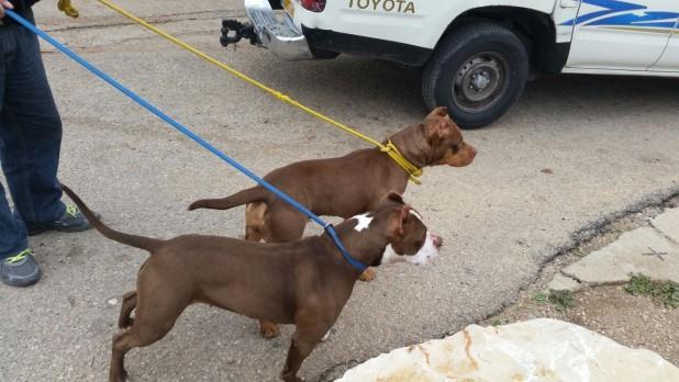 הכלבים שנלכדו (צילום: עיריית עכו)