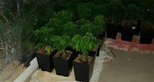 צמחי קאנאביס בלתי חוקי שנתפסו על ידי המשטרה בקריות. צילום: דוברות המשטרה