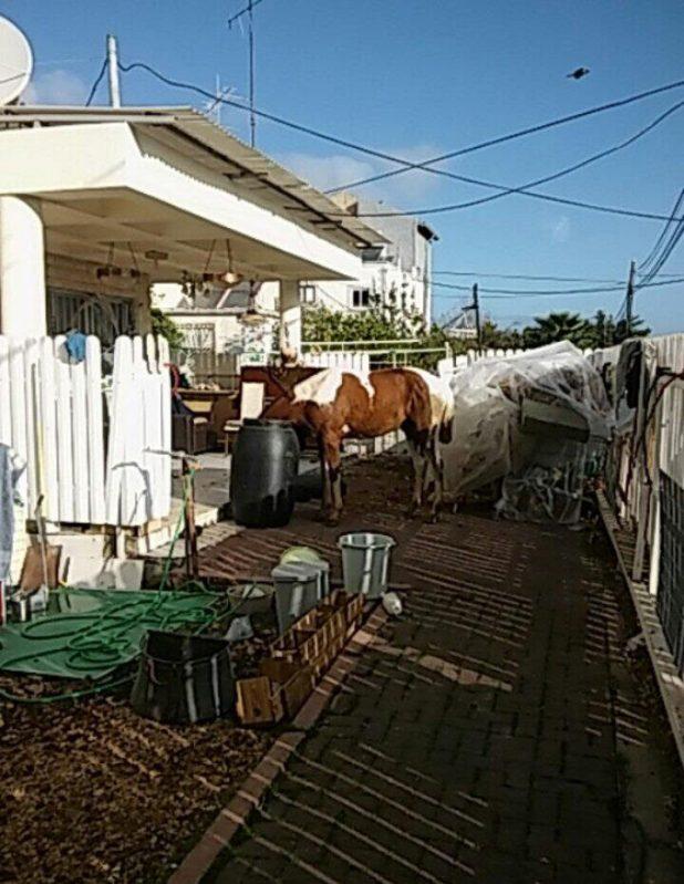 סוס בחצר הבית. צילום: דוברות העירייה