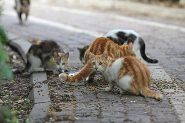 העיקור וסירוס לא מבוצעים כראוי. חתולים רחוב במעלות תרשיחא (צילום; אדריאן הרבשטיין)