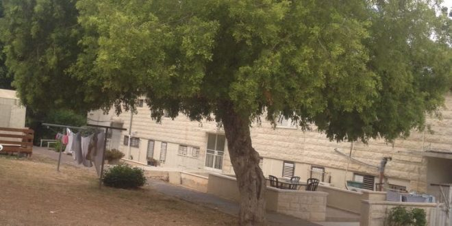 העץ המסוכן (צילום: סיגל לוי)