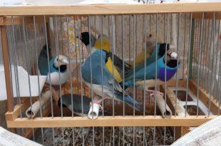 ציפורי גולדין פינק נחשבות על פי החוק בישראל כחיות בר (קרדיט צילום: פקחי רשות הטבע והגנים)