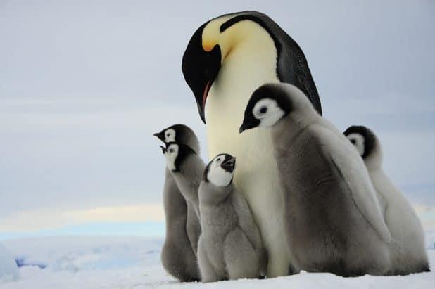 פינגווין קיסרי. צילום מנצח של דפנה בן נון