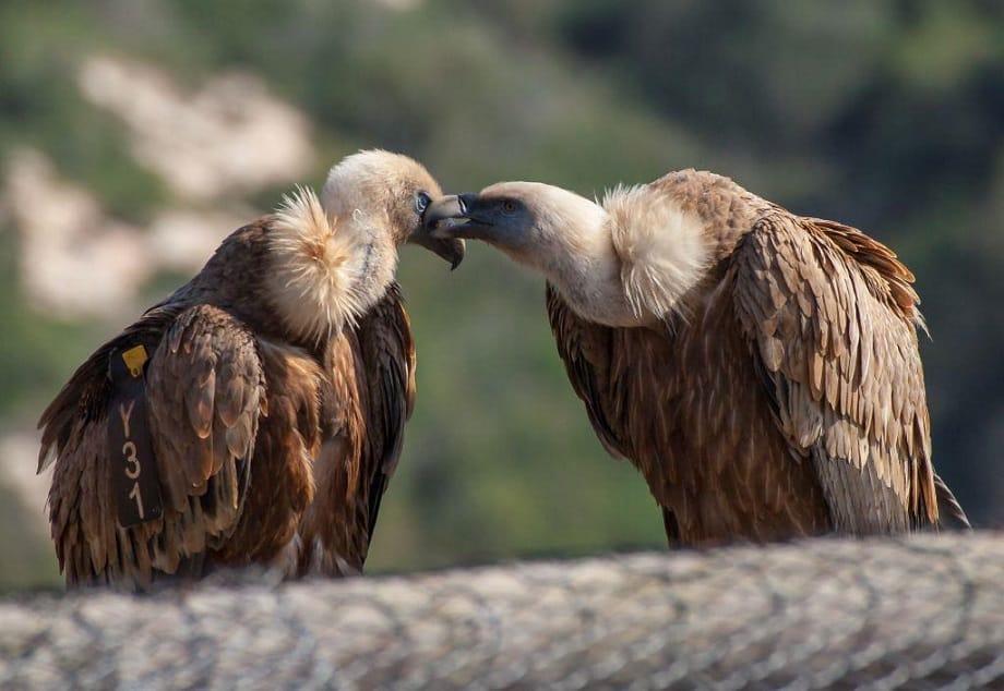 נשרים בחי בר כרמל. צילום: עמותת תיירות כרמלים